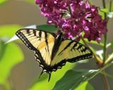 Butterflies - Lepidoptera