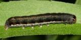 9939 - Lost Sallow - Eupsilia devia