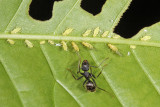 aphids on American Chestnut leaf - Myzocallis castaneae