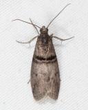 5766 - Black-banded Immyrla Moth - Immyrla nigrovittella