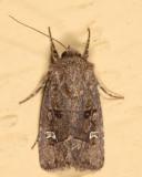 Lacinipolia sp.