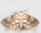 4749 - Elophila faulalis