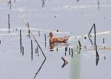 Shorebirds - genus Phalaropus