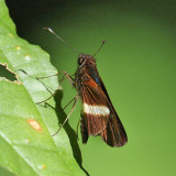 Purple-stained Skipper - Zenis jebus