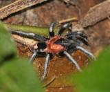Tarantulas - Theraphosidae