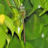 Mangrove Darner - Coryphaeschna viriditas (female)
