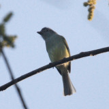 Yellow-olive Flycatcher - Tolmomyias sulphurescens