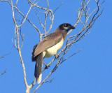 Brown Jay - Cyanocorax morio