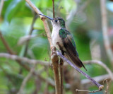 Wedge-tailed Sabrewing - Campylopterus curvipennis