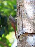Olivaceous Woodcreeper - Sittasomus griseicapillus