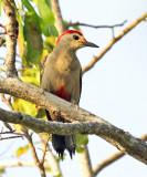 Golden-fronted Woodpecker - Melanerpes aurifrons