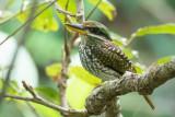 Spotted Wood Kingfisher (Actenoides lindsayi)