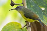 Lina's Sunbird (Aethopyga linaraborae)