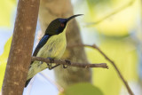 Bohol Sunbird (Aethopyga decorosa)