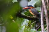 Hombron's Kingfisher  (Actenoides hombroni)