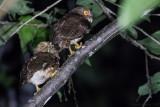 Mindanao Hawk-Owl (Ninox spilocephala)