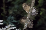 Camiguin Hawk-Owl (Ninox leventisi)
