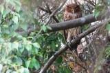 Philippine Eagle-Owl (Bubo philippensis)