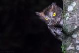 Luzon Scops Owl (Otus longicornis)