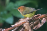 Rufous-headed Tailorbird (Phyllergates heterolaemus)