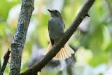 Rufous-tailed Jungle Flycatcher (Cyornis ruficauda boholensis)
