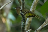 Camiguin (Yellowish) Bulbul (Hypsipetes [everetti] catarmanensis)