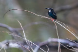 Southern Silvery Kingfisher (Ceyx argentatus)