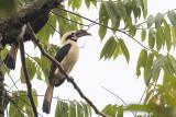 Mindanao Hornbill (Penelopides affinis)