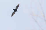 Philippine Spine-tailed Swift (Mearnsia picina)