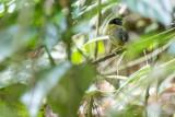 Yellow-breasted Tailorbird (Orthotomus samarensis)