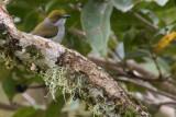 Olive-capped Flowerpecker (Dicaeum nigrilore)