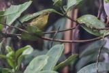 Negros Leaf Warbler a.k.a. 'Mindanao Mountain Warbler' (Phylloscopus [nigrorum] mindanensis)