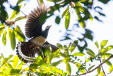 Pink-bellied Imperial Pigeon (Ducula poliocephala)