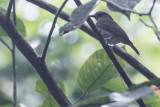 White-throated Jungle Flycatcher (Vauriella albigularis)