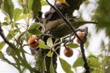 Panay Striped Babbler (Zosterornis latistriatus)