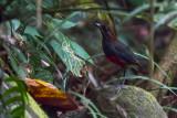 Whiskered Pitta (Erythropitta kochi)