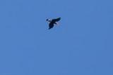 Walden's Hornbill (Rhabdotorrhinus waldeni)