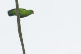 Philippine Hanging Parrot (Loriculus philippensis regulus)