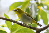 Warbling White-eye (Zosterops japonicus (undescribed ssp))