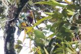 Yellow-breasted Fruit Dove (Ptilinopus occipitalis)