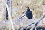 Rock Partridge (Alectoris graeca)