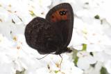 de Prunner's Ringlet (Erebia triarius)