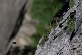 Camberwell Beauty (Nymphalis antiopa)