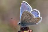 Turqouise Blue (Polyommatus dorylas)