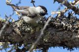 Alpine Willow Tit (Poecile montanus montanus)