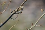 Western Bonelli's Warbler (Phylloscopus bonelli)