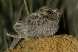 Sickle-winged Nightjar (Eleothreptus anomalus)