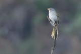 Serra Finch (Embernagra longicauda)