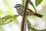 White-striped Warbler (Myiothlypis leucophrys)