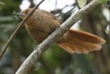 Orange-eyed Thornbird (Phacellodomus erythrophthalmus)